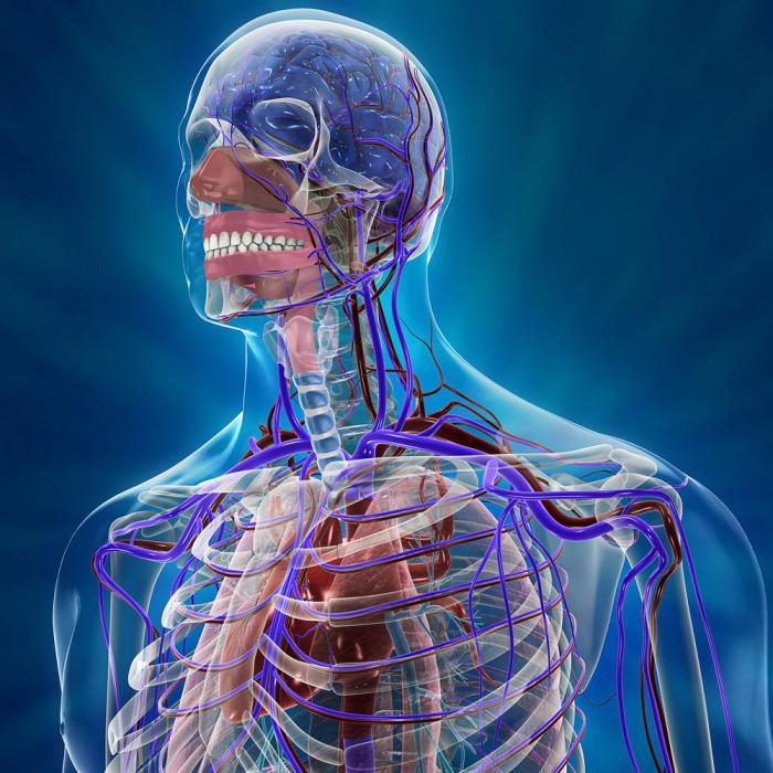 Внутреннее строение организма