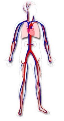 Круги кровообращения, схема
