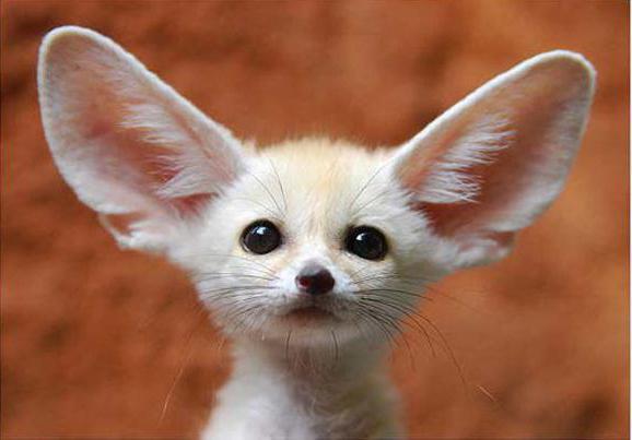 очень большие уши