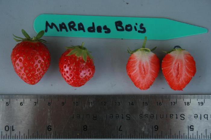 Земляника садовая (клубника) Мара де Буа: отзывы, описание сорта, фото