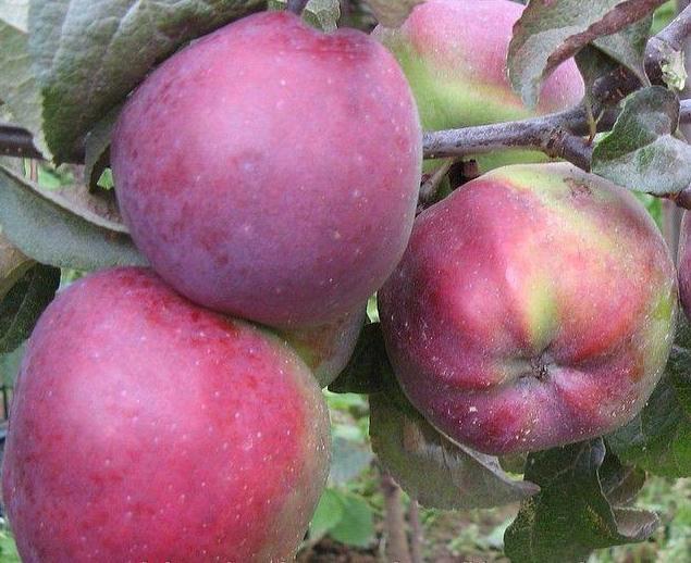 Яблуня Імант опис фото відгуки