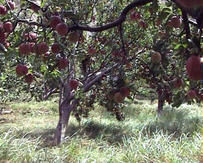 имант яблоня отзывы