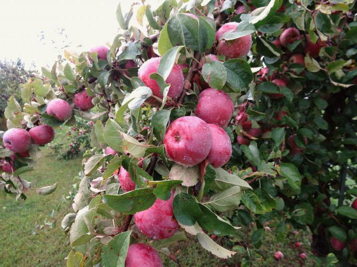 имант яблоня