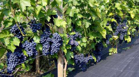 виноград зилга
