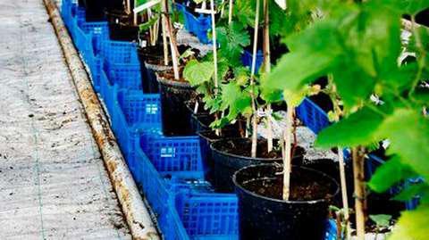 виноград зилга описание сорта
