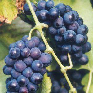 виноград зилга описание