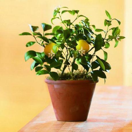 Пересадка лимона в новый горшок