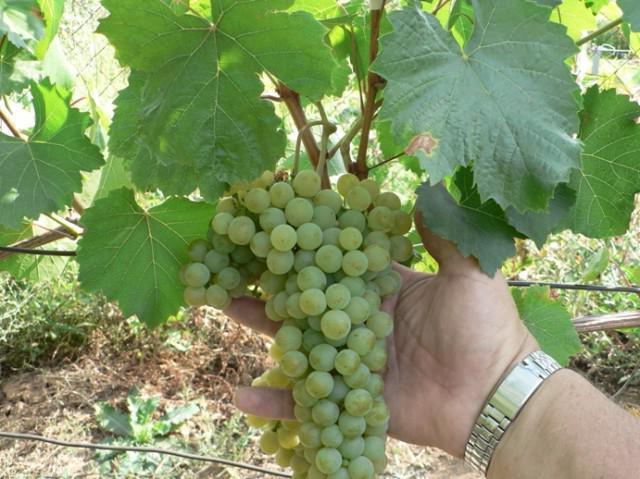 фото виноград цитрон магарача