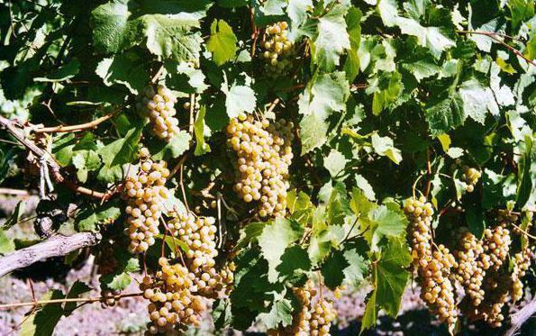 цитрон магарача фото виноград