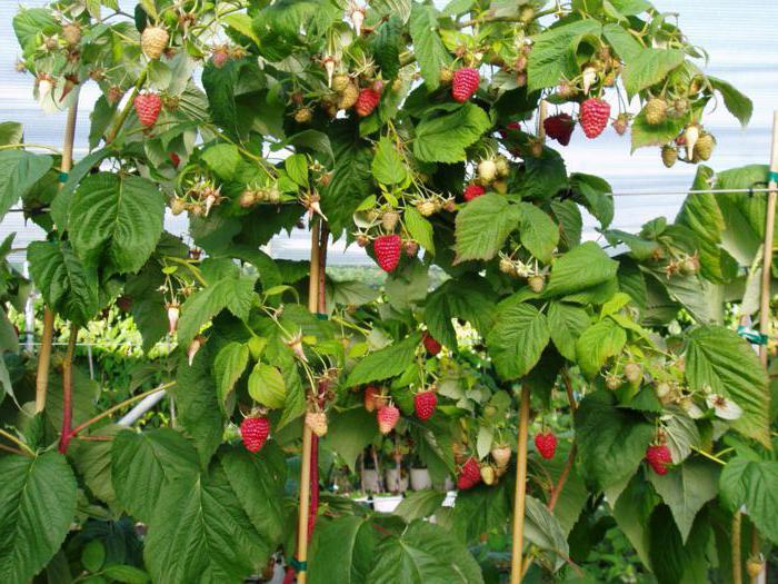 малина таруса малиновое дерево отзывы