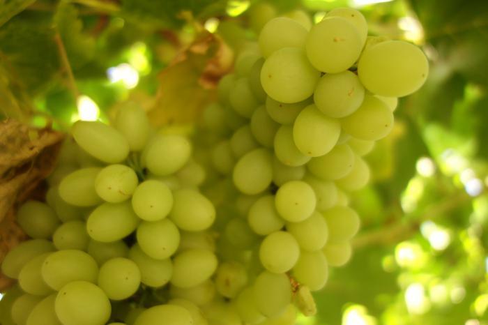 Виноград талисман  описание