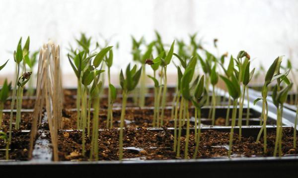 как закалять рассаду помидоров в домашних условиях
