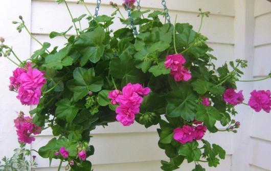калачики цветы фото