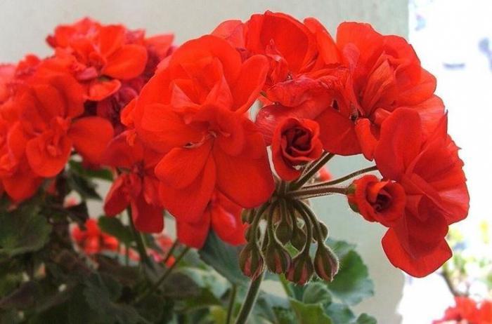 Девушка в красном с красными розами картинки