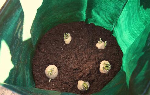 условия выращивания картофеля
