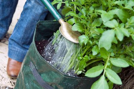 выращивание картофеля в бочках и мешках