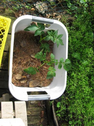 выращивание картофеля с умом