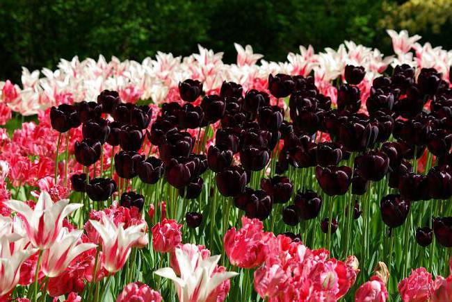 Тюльпаны выращивание уход 9