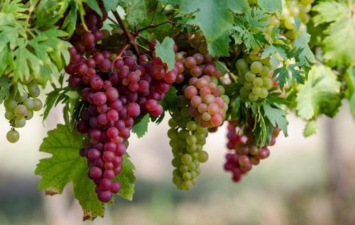 Виноград Дашуня Описание Сорта