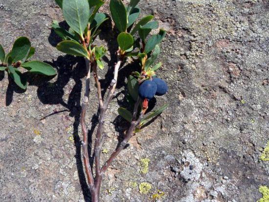Голубика садовая посадка и уход в подмосковье
