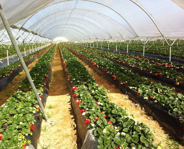 Черная пленка для выращивания клубники 953