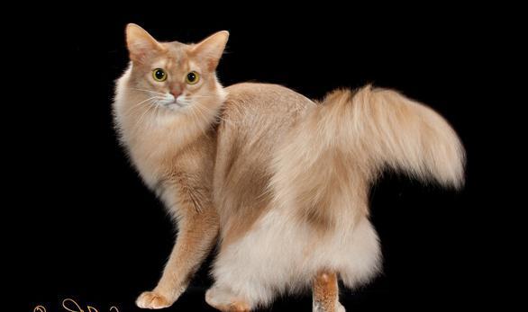 Кошка сомали: фото. Сомалийская кошка: нрав, отзывы