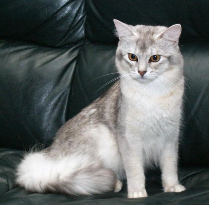 Картинки по запросу Навостренные ушки у кошки
