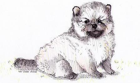 как нарисовать собаку шпица