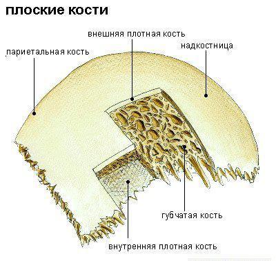 схема губчатой кости