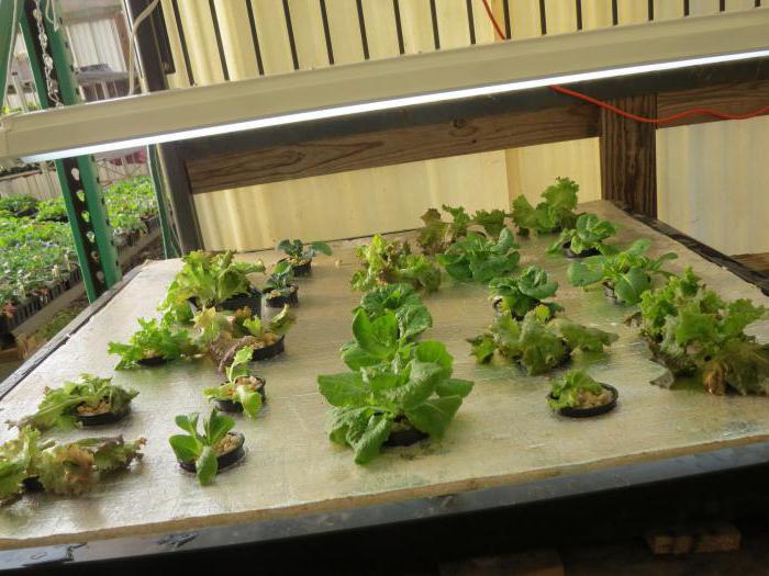 растения для дома на гидропонике
