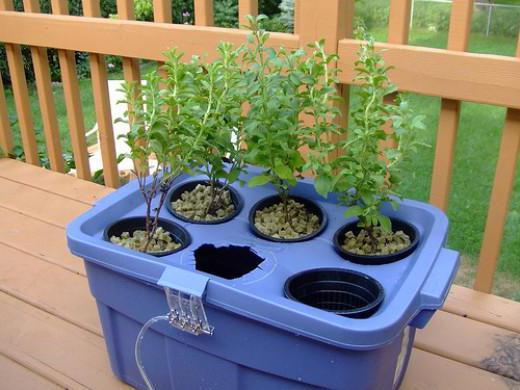 Гидропоника рассады томатов 21