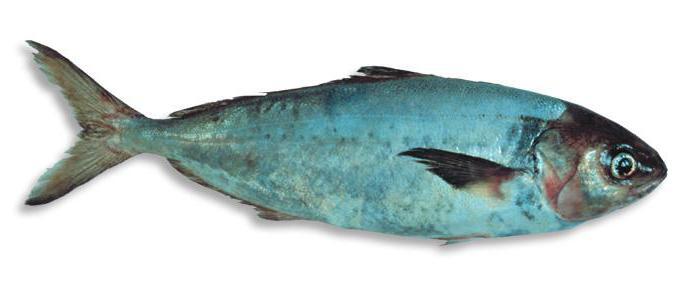 рыба саварин