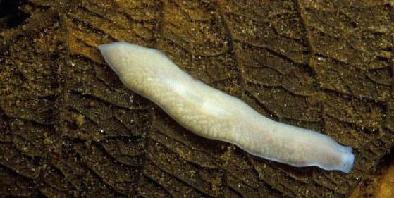 строение плоских червей планария
