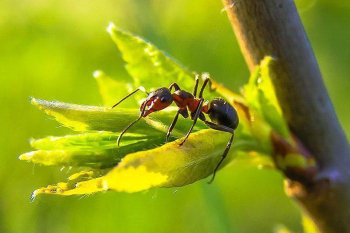 как выглядит матка муравья