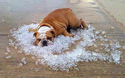 признаки теплового удара у собаки