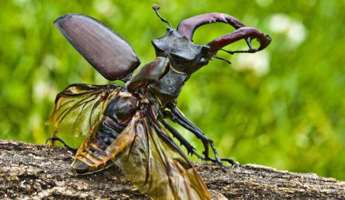 фото жук олень из красной книги