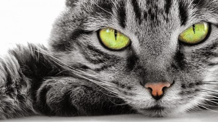 выпадение третьего века у кошек