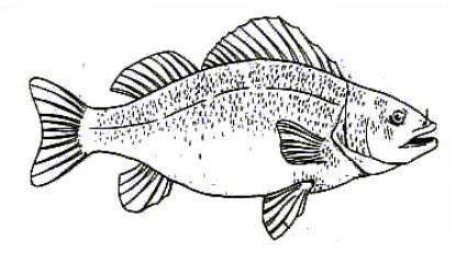 анатомия рыб