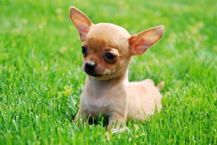 роды у собаки чихуахуа