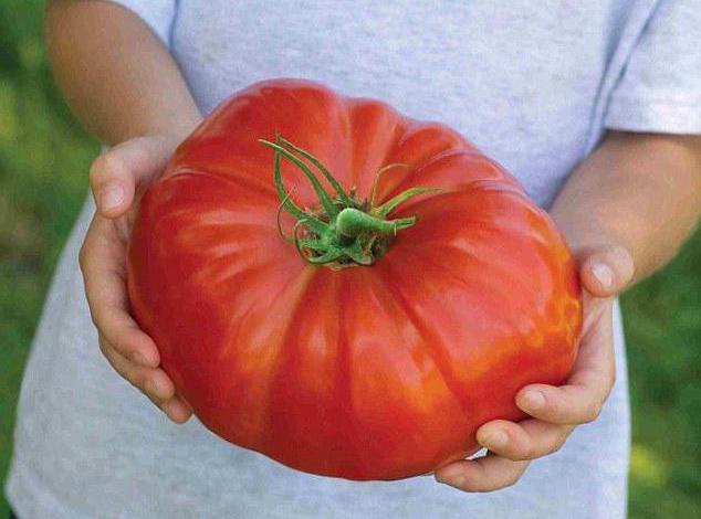 томат алсу отзывы фото урожайность
