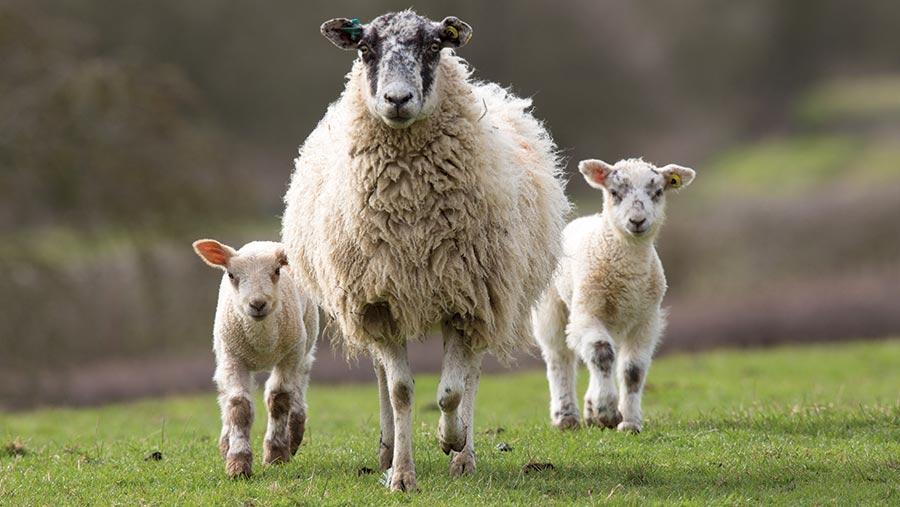 сколько проходит беременность у овцы