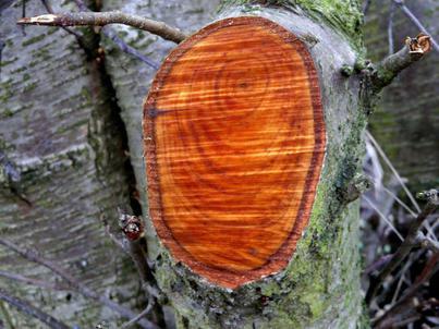 древесина свойства древесины