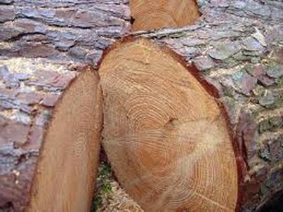 свойства древесины сосны
