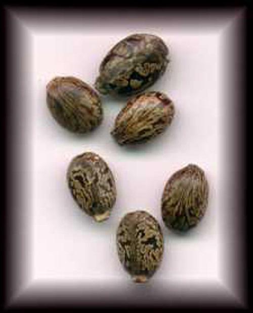 насіння рицини