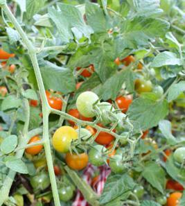 какие овощи посадить в тени
