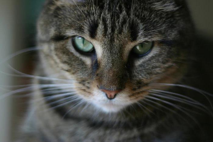 К чему снится если убить кота