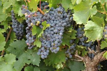 Когда весной открывать виноград
