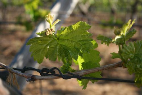 Когда можно открывать виноград весной