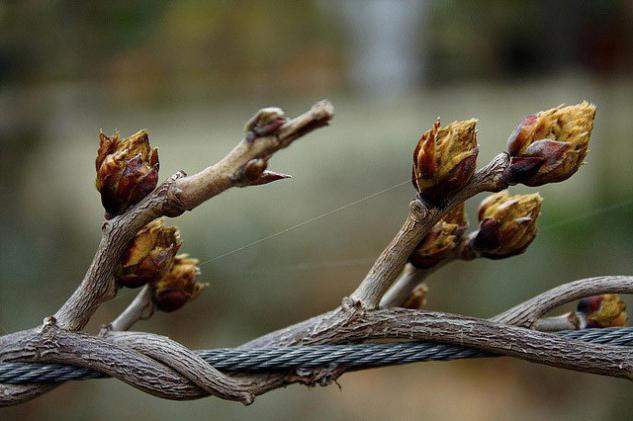 Когда весной нужно открывать виноград после зимы