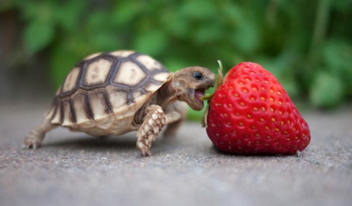 Что едят домашние сухопутные черепахи в домашних условиях
